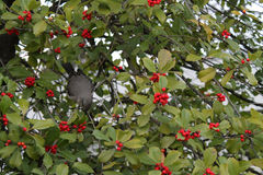 Mockingbird in tree Stock Image