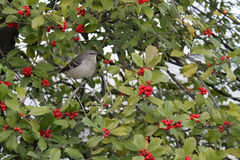 Mockingbird in tree. Mockingbird in hawthorn berry tree during wintertime in Washington DC Stock Photo