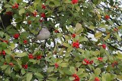 Mockingbird in tree holding berry Royalty Free Stock Photo