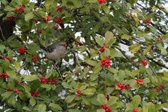 Mockingbird in tree holding berry Stock Photos