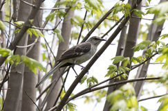 Mockingbird. In a tree at the park Royalty Free Stock Photos