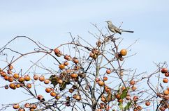 Mockingbird. A mockingbird in a tree with ripe persimmons stock images