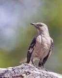 Mockingbird Umieszczający na gałąź Obrazy Stock