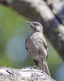 Mockingbird Umieszczający na gałąź Zdjęcie Royalty Free