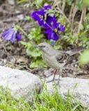 Mockingbird Umieszczający Na belga bloku Fotografia Royalty Free