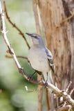 Mockingbird Umieszczający Na winogradzie Obraz Royalty Free
