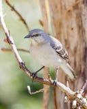 Mockingbird Umieszczający Na winogradzie Zdjęcie Royalty Free