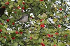 Mockingbird w drzewie Zdjęcie Stock
