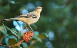 Mockingbird w/Magnolia bud Royalty Free Stock Image
