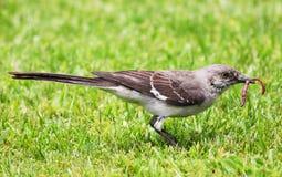 Mockingbird and worm Royalty Free Stock Image