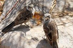 Mockingbirds Stock Photo