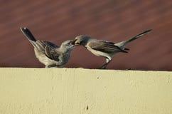 Mockingbirds Royalty Free Stock Images