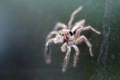 Mocro που πυροβολείται της αράχνης άλματος Στοκ φωτογραφίες με δικαίωμα ελεύθερης χρήσης