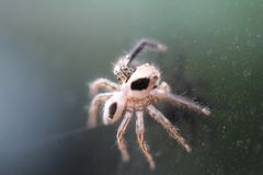 Mocro schoss von der springenden Spinne Lizenzfreies Stockbild