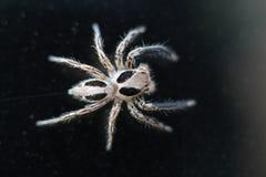 Mocro schoss von der springenden Spinne Stockfotografie