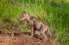 Moczący Mokrego kojota Szczeni się przy Densite (Canis latrans) Zdjęcia Royalty Free