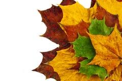 Moczę barwił liście klonowych odizolowywających na białym tle Zdjęcie Stock