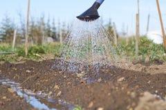 Moczę nawadniał ziemię ogrodowy łóżko i wodny dolewanie od podlewanie puszki na słonecznym dniu Zdjęcia Royalty Free