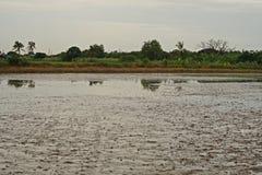 Moczę siał ryżu glebowego warunek, nasycająca ziemia Zdjęcie Stock