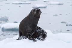 Moczy futerkową fokę która przychodził out lodowy floe na dniu Obraz Royalty Free