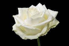Moczy kwiaty odizolowywających Zdjęcia Stock
