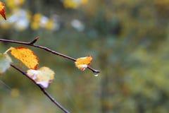 Moczy liście na gałąź drzewo po deszczu Zdjęcie Stock