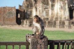 Moczy małpy przy świątynią Fotografia Royalty Free