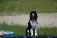 Moczy psa Obrazy Royalty Free