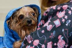 Moczy psiego zawijającego w ręczniku Fotografia Stock