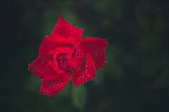 Moczy różanego Zdjęcie Royalty Free