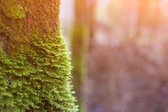 Moczy starą dąb barkentynę przerastającą z zielonym mech sunlight zdjęcie stock