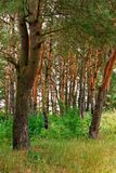 Moczy trawiastych skłony na tle wysokie niekończący się góry zakrywać z drzewami Zdjęcie Royalty Free