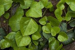 Moczy zielonego liść na ciemnym tle Fotografia Royalty Free