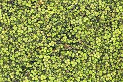 Modèle abstrait des duckweeds flottant sur la surface d'un étang Photos libres de droits