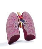 Modèle anatomique d'un poumon Photo stock