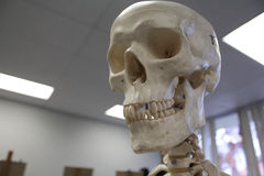Modèle anatomique de crâne humain Images stock
