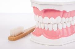 Modèle anatomique de dents humaines blanches saines dentistry Photo libre de droits