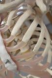 Modèle anatomique squelettique humain, nervures Photographie stock