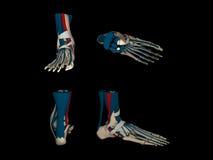 Modèle anatomique tridimensionnel du pied humain i Images stock