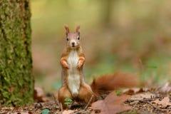 Modèle d'écureuil Image libre de droits