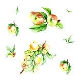 Modèle d'aquarelle réglé avec la pomme Photographie stock