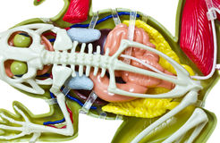 Modèle d'entrailles de grenouille. Photos stock