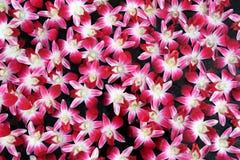 Modèle d'orchidée de lawrenceae d'aerides Images stock