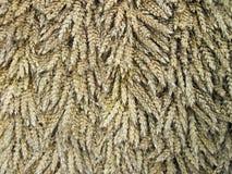 Modèle d'oreilles de blé Photos stock