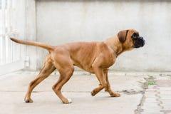 Modèle de chien Image libre de droits