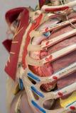 Modèle de corps humain d'anatomie Photographie stock