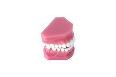 Modèle de dentier de dents d'isolement sur le fond blanc avec le chemin de coupure Photographie stock libre de droits