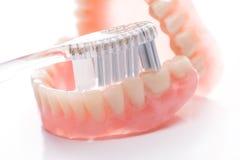 Modèle de dents avec la brosse à dents sur le fond blanc Image libre de droits
