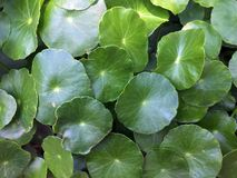 Modèle de feuille asiatique, couleur verte Photo stock