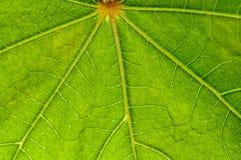 Modèle de feuille, vert, veines, éclairées à contre-jour, nature, fin fraîche, imper Photographie stock